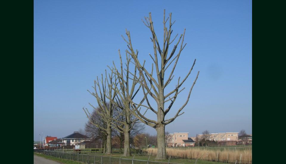 Kandelaberen bomen.jpg