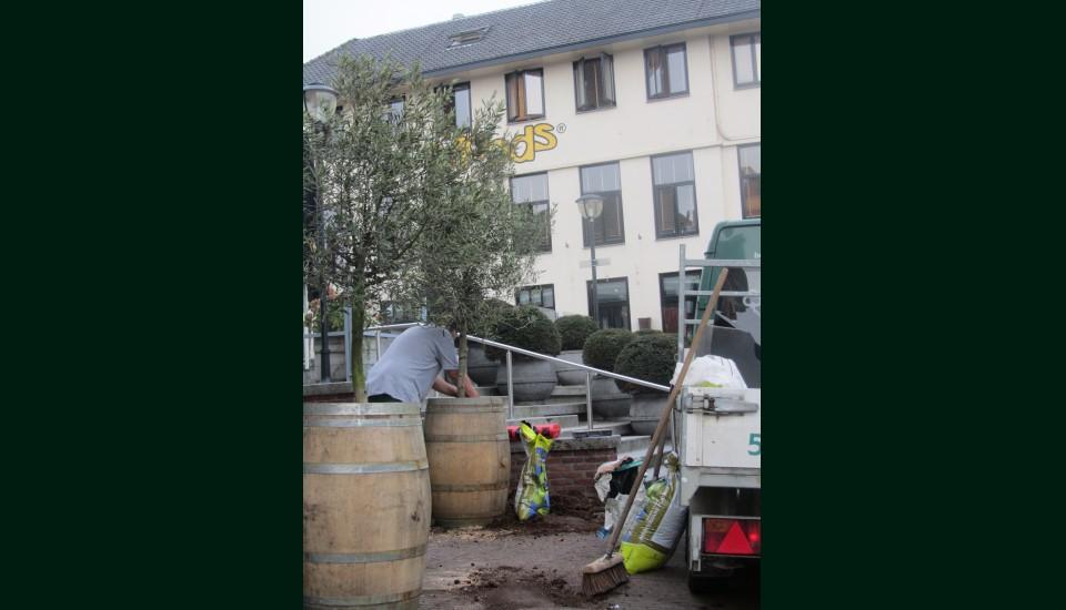 Olijfbomen Oud-Beijerland.JPG